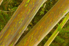 Rainbow eucalyptus trees. Beautiful Rainbow Eucalyptus trees taken in the tropical area of Maui Hawaii royalty free stock image