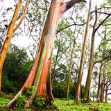 Rainbow Eucalyptus trees Stock Photography