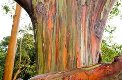 Rainbow Eucalyptus Trees, Maui, Hawaii, USA Royalty Free Stock Images
