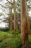 Rainbow Eucalyptus Trees, Maui, Hawaii, USA Stock Image