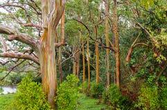 Rainbow Eucalyptus Trees, Maui, Hawaii, USA Royalty Free Stock Photography