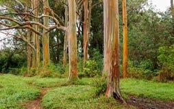 Rainbow Eucalyptus Trees, Maui, Hawaii, USA Stock Photos