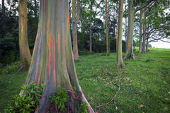 Rainbow Eucalyptus Trees, Maui, Hawaiian Islands Stock Photos