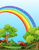 Rainbow and field. Red panda in the field with rainbow over it Royalty Free Stock Image