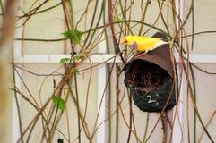 Rainbow Finch bird, Florida Royalty Free Stock Image