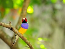 Rainbow Finch bird perched on branch, Florida Royalty Free Stock Image
