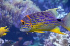 Rainbow Fish Royalty Free Stock Photo