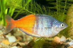 Rainbow fish Stock Photo