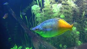 Rainbow Fish stock video