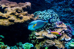 Rainbow fishes in an aquarium in a zoo Royalty Free Stock Photography