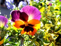 Rainbow Flower on a Sunny Day. Nature at it Best Stock Images