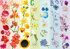 Rainbow flowers collection. Illustration with rainbow flowers collection Vector Illustration