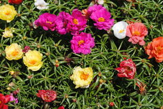 Rainbow flowers. A colorful mix of portulaca flowers in full bloom Stock Images