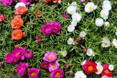 Rainbow flowers. A colorful mix of portulaca flowers in full bloom Royalty Free Stock Photos