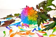 Rainbow flowers. In white Stock Images
