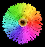 Rainbow Gerber flower with yellow heart macro Royalty Free Stock Photo