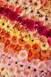 Rainbow gerbera Royalty Free Stock Image