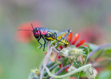 Rainbow Grasshopper. The bicolor grasshopper, also known as the rainbow , painted , or the barber pole hopper, is a species of insect. It is native to North Stock Images