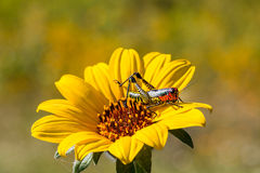Rainbow Grasshopper. The bicolor grasshopper, also known as the rainbow , painted , or the barber pole hopper, is a species of insect. It is native to North Royalty Free Stock Images