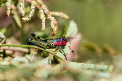 Rainbow Grasshopper. The bicolor grasshopper, also known as the rainbow , painted , or the barber pole hopper, is a species of insect. It is native to North Royalty Free Stock Image