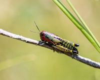 Rainbow Grasshopper. The bicolor grasshopper, also known as the rainbow , painted , or the barber pole hopper, is a species of insect. It is native to North Stock Image