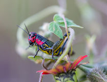 Rainbow Grasshopper. The bicolor grasshopper, also known as the rainbow , painted , or the barber pole hopper, is a species of insect. It is native to North Stock Photography