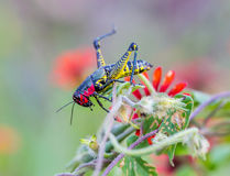 Rainbow Grasshopper. The bicolor grasshopper, also known as the rainbow , painted , or the barber pole hopper, is a species of insect. It is native to North Royalty Free Stock Photography