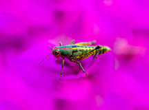 Rainbow Grasshopper. The bicolor grasshopper, also known as the rainbow , painted , or the barber pole hopper, is a species of insect. It is native to North Stock Photo