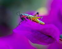 Rainbow Grasshopper. The bicolor grasshopper, also known as the rainbow , painted , or the barber pole hopper, is a species of insect. It is native to North Royalty Free Stock Photos