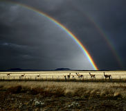Rainbow and Guanacos. The rainbow after the storm, and guanacos are in an area of Patagonia stock photography