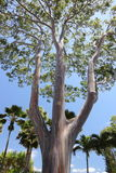 Rainbow Gum tree stock photos
