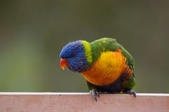 Rainbow insolente Lorikeet fotografia stock