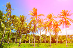 Rainbow light coco palm trees. Tropical landscape with palms. Palm tree crown on blue sky. Royalty Free Stock Photo