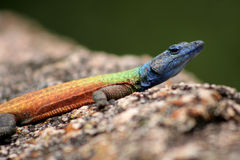 Rainbow Lizard Stock Photography