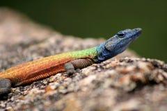 Rainbow Lizard Stock Photography