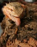 Rainbow Lizard. Having a light snack, eat or be eaten Royalty Free Stock Image
