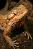 Rainbow Lizard. Posing for his first photo shoot Royalty Free Stock Photos