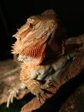 Rainbow Lizard. Having a photo shoot Royalty Free Stock Images