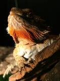 Rainbow Lizard. Having a look around Stock Photo