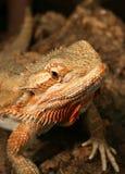 Rainbow Lizard. Having a light snack, eat or be eaten Stock Image