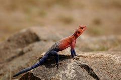 Rainbow Lizard Royalty Free Stock Photography