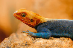 Rainbow Lizard Stock Photos