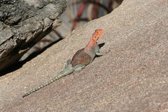 Rainbow lizard (Agama agama). A Rainbow lizard (Agama agama) sunning on a rock royalty free stock photography