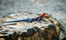 Rainbow Lizard standing on the rock in Kenya, Africa Stock Images