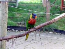 Rainbow Lorakeet Stock Image