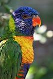 Rainbow Lori Royalty Free Stock Images