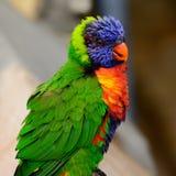 Rainbow lori Trichoglossus moluccanus with vivd eyes and plumm Royalty Free Stock Photo