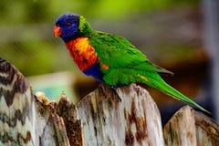Rainbow lori Trichoglossus moluccanus with vivd eyes and plumm Stock Photos