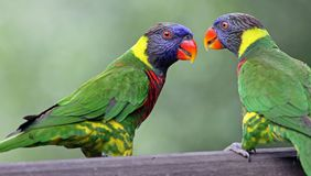 Rainbow lories Stock Photography