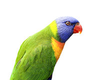 Rainbow Lorikeet Royalty Free Stock Photos